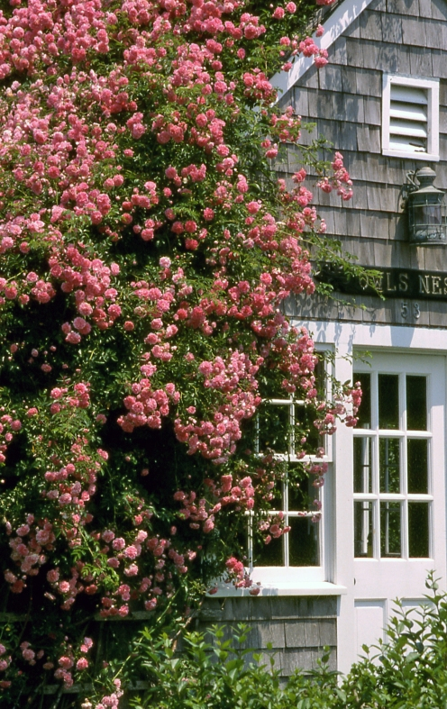 NANTUCKET Pink Roses Sconset credit Mike Galvin